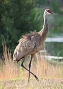 Cranes Framed Prints - Lovely Sandhill Crane Framed Print by Carol Groenen