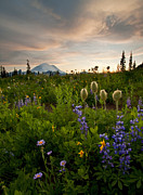 Anenome Photos - Lupine Sunset by Mike  Dawson