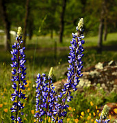 Blue Flowers Posters - Lupines Poster by Cheryl Young