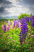 Stormy Sky Prints - Lupins in Newfoundland meadow Print by Elena Elisseeva