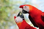 Macaw Photos - Macaws by Steven Sparks