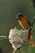 Flycatcher Photos - Madagascar Paradise Flycatcher by Cyril Ruoso