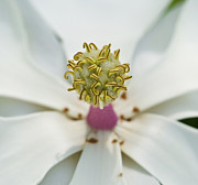 Florida Flowers Photos - Magnolia Bloom by Rich Franco
