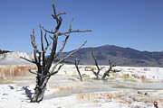 Bare Trees Metal Prints - Main Travertine Sinter Terrace. Mammoth Metal Print by Richard Roscoe