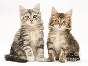 Jane Burton - Maine Coon Kittens