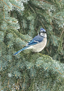Bluejay Metal Prints - Majestic Blue Jay Metal Print by Pamela Baker