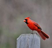 Wildlife - Male Cardinal by Todd Hostetter