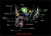Urinary Tract Posters - Male Genitourinary System, Artwork Poster by Francis Leroy, Biocosmos