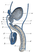 Genitourinary System Prints - Male Genitourinary System Print by Science Source