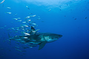 White Shark Prints - Male Great White Shark And Bait Fish Print by Todd Winner