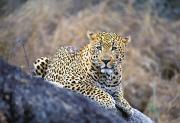 Leopard Hunting Prints - Male Leopard Print by John Pitcher