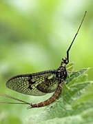 Mayfly Framed Prints - Male Mayfly Framed Print by Adrian Bicker