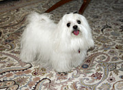 Maltese Dog Posters - Maltese Dog Poster by Sally Weigand