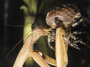 Praying Mantis Photos - Mantis Vs Spider by Tina Marie