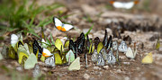 Europe Photo Originals - Many butterfly on the flow in the wild by Anek Suwannaphoom
