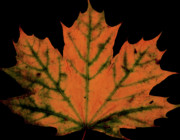 Maple Leaf Digital Art - Maple Leaf by Valencia Photography