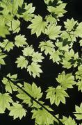 Arrange Posters - Maple Leaves Poster by Greg Vaughn - Printscapes