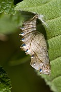 Iridescent Photos - Marbled Fritillary Chrysalis by Paul Harcourt Davies