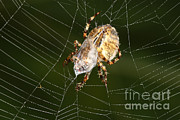 Araneidae Posters - Marbled Orb Weaver Spider Eating Poster by Ted Kinsman