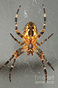 Orb Weaver Framed Prints - Marbled Orb Weaver Spider Framed Print by Ted Kinsman