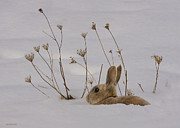 Hare Photo Posters - March Hare Poster by Ron Jones