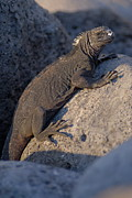 Marine Iguana On Rock Print by Sami Sarkis