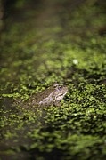 Marsh Frog Print by Louise Murray
