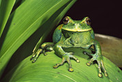 Amphibians Photography - Marsupial Frog Gastrotheca Orophylax by Pete Oxford