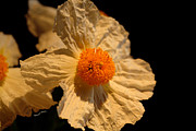 Flower Images Posters - Matilija Poppy Poster by Cheryl Young