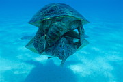 Green Sea Turtle Photos - Mating Green Turtles by Alexis Rosenfeld