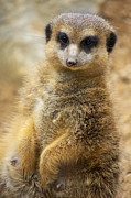 African Animals Photo Posters - Meerkat Poster by Angela Doelling AD DESIGN Photo and PhotoArt
