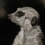 Meerkat Photos - Meerkat Profile by Ernie Echols