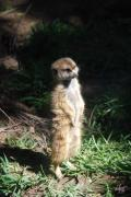 Savannahs Framed Prints - Meerkat Framed Print by Thea Wolff