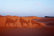 Animals On Train Framed Prints - Men and camels shadows on sand dune Framed Print by Sami Sarkis