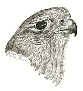 Merlin Drawings Posters - Merlin Falcon Poster by Brenda Diller