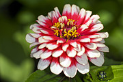 Zinnia Prints - Mexican Zinnia (zinnia Haageana) Print by Dr Keith Wheeler