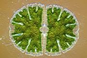Microsterias Green Alga, Light Micrograph Print by Frank Fox