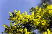 Mimosa Flowers Photos - Mimosa (acacia Dealbata Subalpina) by Dr Keith Wheeler