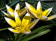 Jem Fine Arts Photos - Mini Botanical Tulip named Dasystemon tarda by J McCombie
