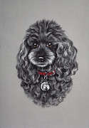 Black Curly Hair Pastels - Miniature Poodle by Patricia Ivy