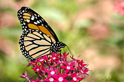 Danaus Plexippus Prints - Monarch Butterfly Print by Betty LaRue