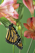 Danaus Plexippus Prints - Monarch Butterfly Print by David Aubrey