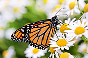 Daisy Prints - Monarch butterfly Print by Elena Elisseeva