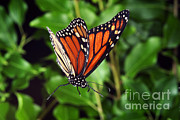 Butterfly In Flight Framed Prints - Monarch Butterfly In Flight Framed Print by Ted Kinsman