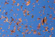 Butterfly In Flight Prints - Monarch Danaus Plexippus Butterflies Print by Ingo Arndt