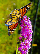 Butterfly Framed Prints - Monarch Framed Print by Road  Mosey