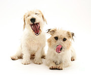 Mongrel Prints - Mongrel And Jack Russell Terrier Dogs Print by Mark Taylor