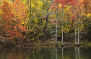 Fall Trees Posters - Morning light in the Forest Poster by Iris Greenwell