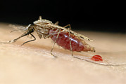 Eating Entomology Art - Mosquito Feeding by Sinclair Stammers