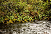 Forest Floor Posters - Mossy Riverbank Poster by Carol Groenen